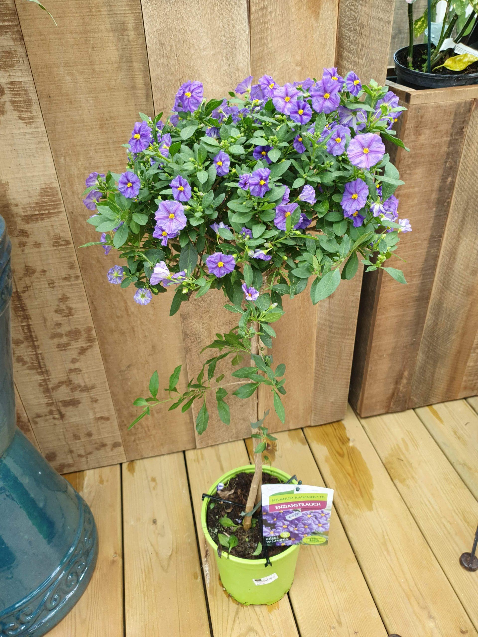Solanum Rantonetti Stamm