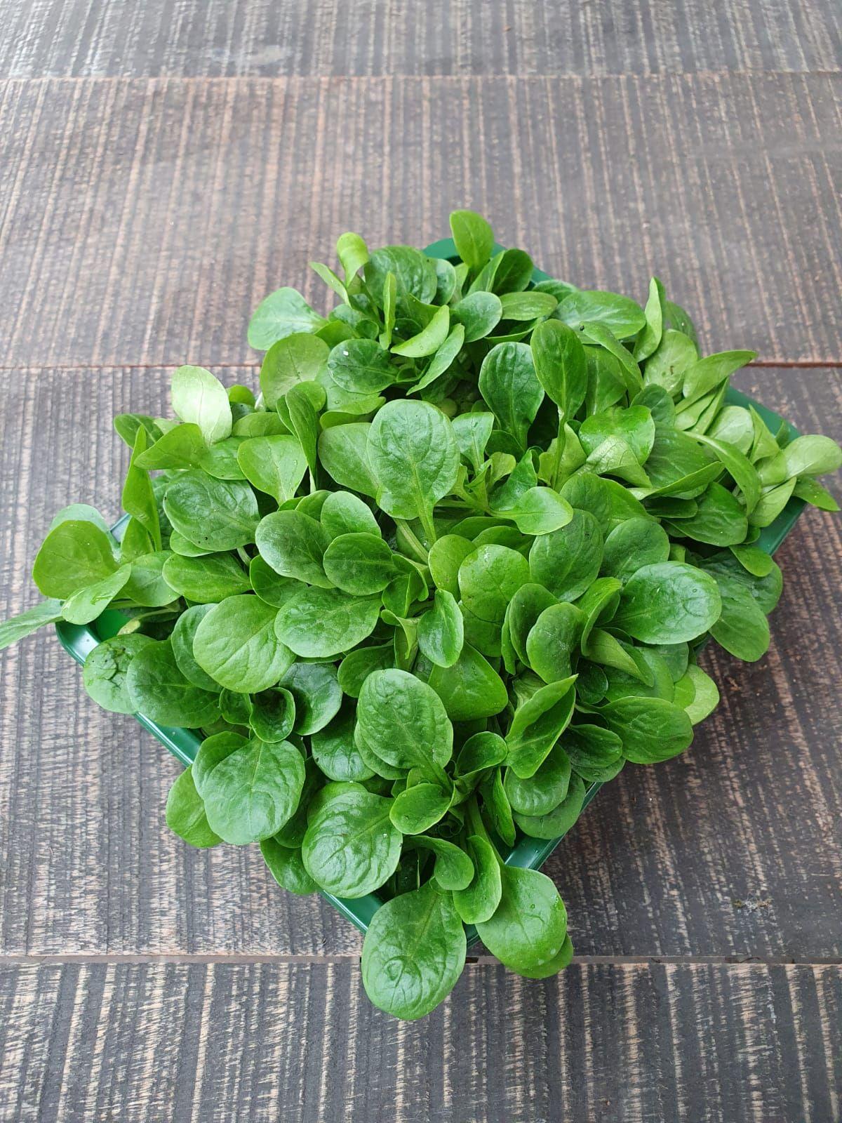 Ackersalat aus Eigenanbau